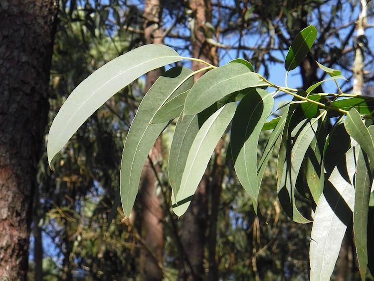eucalyptus-2711285_960_720