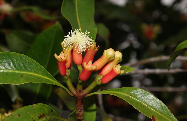 Close-up-flower-of-Cloves