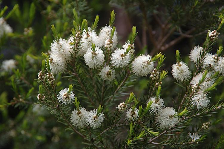 melaleuca-alternifolia-photo1