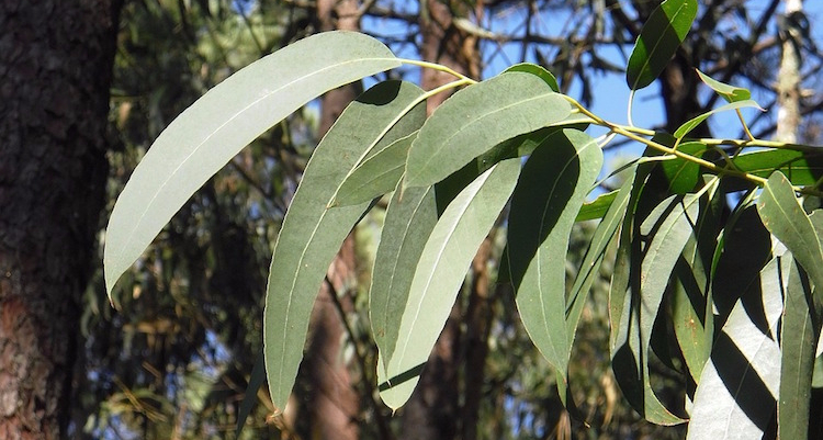 eucalyptus-2711285_960_720.jpg
