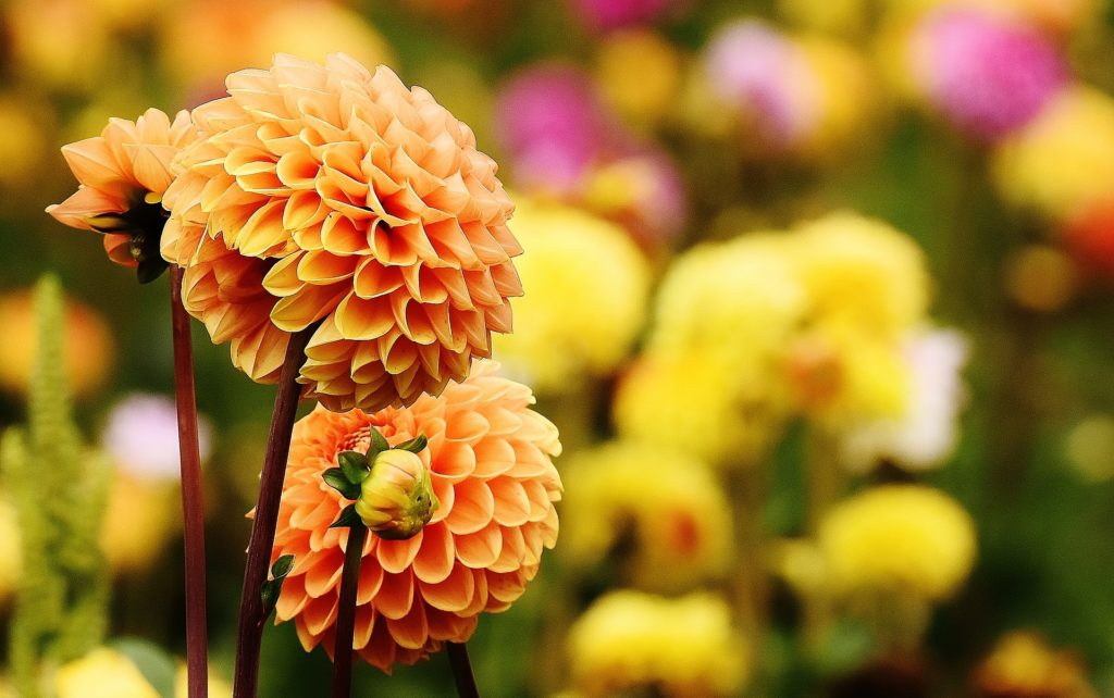 dahlia fleur flower jardin garden slow