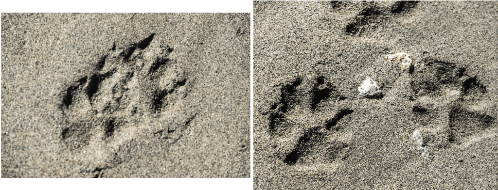 Wolf tracks on shore