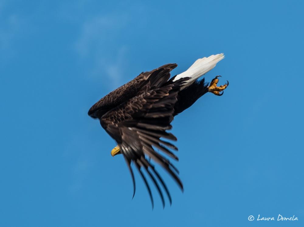 ketchikan_eagle-2128