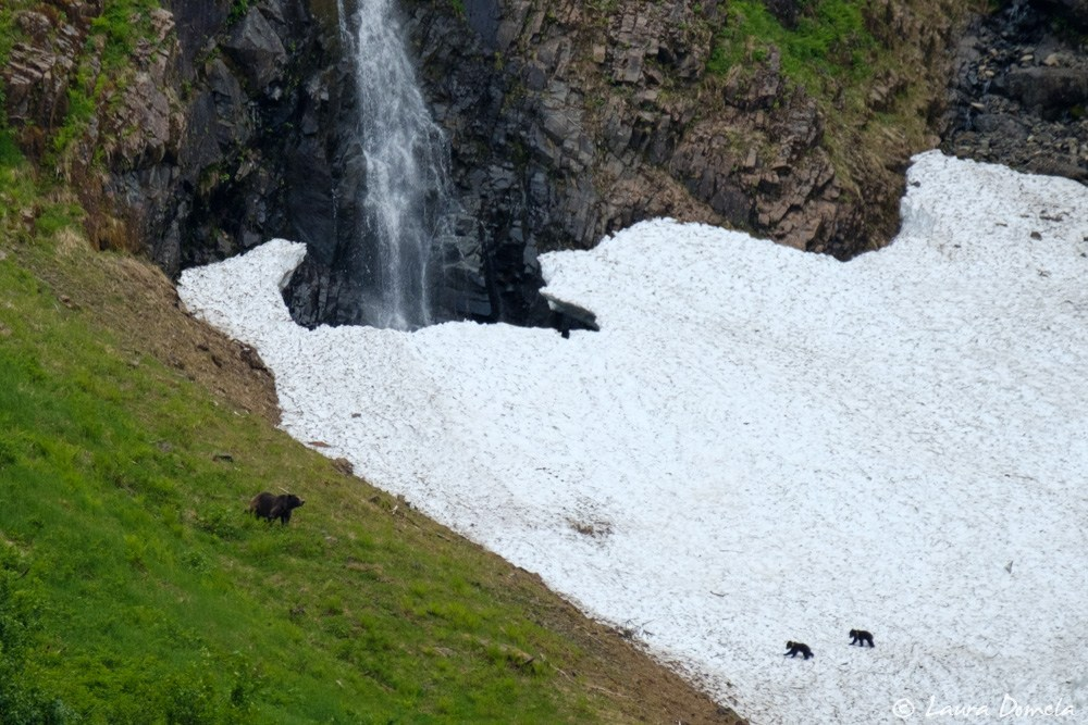 Brown bear sow and cubs up on the snowy mountainside