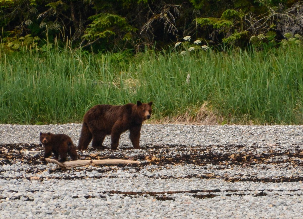 Brown bear sow and cubs on shore, Tracy Arm Cove