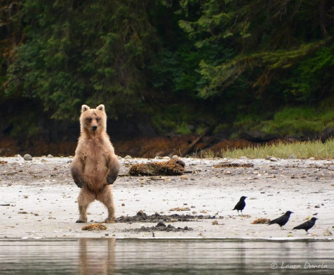 Scrawny brown bear standing up