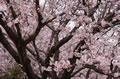 アンデルセン公園の桜
