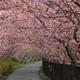 河津桜 --春色に、萌え。--