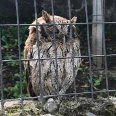 parque condor burrowing owl