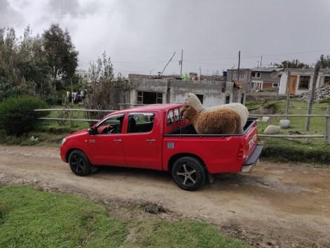 quilotoa alpaca1.jpg
