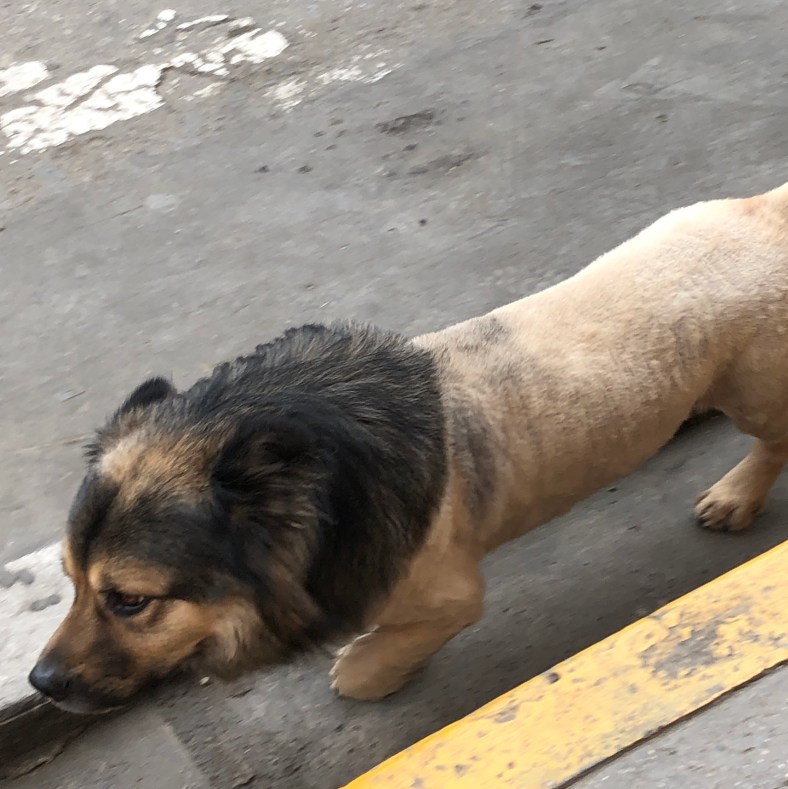 lion dog.JPG