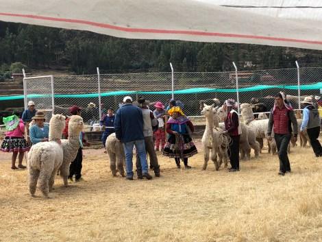 llamas lining up.JPG