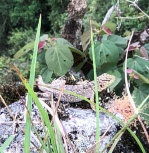 MP lizard