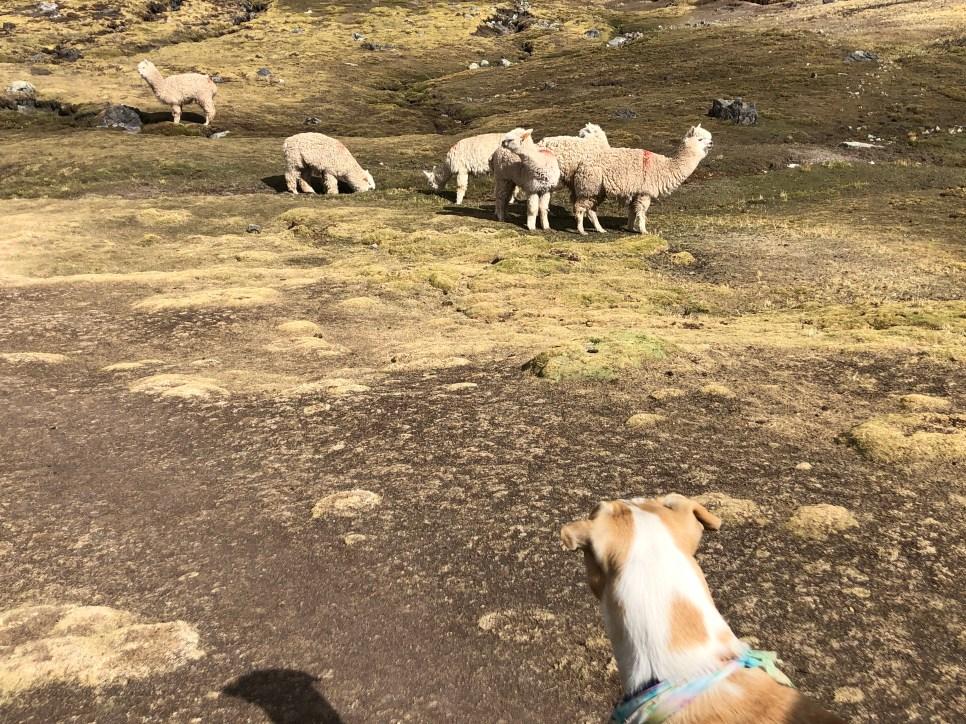 ascending looking at alpacas.JPG