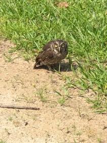 beach owl .jpg