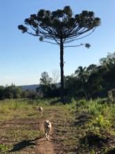 pine dogs and pinheiro