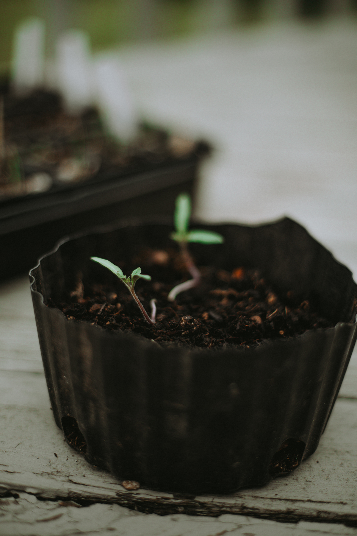 Tomato starts grow from a tiny planter.