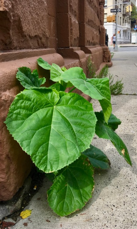 A Paulownia seedling Grows in Brooklyn   Paulonia likes to grow in the margins- here is one that I spotted growing out of the sidewalk a few blocks from my home in Brooklyn, NY