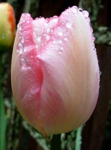 tulip-new-design