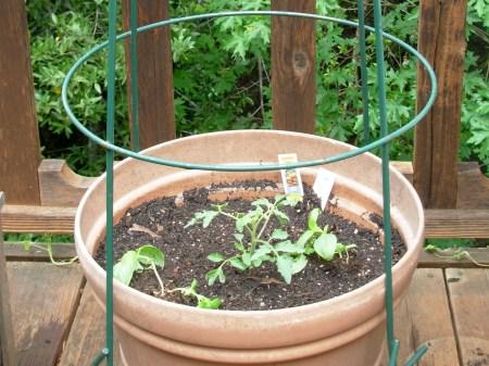 Garden-Tomato2