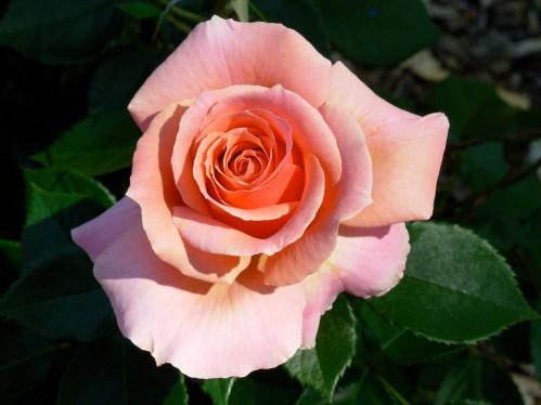 rosepeach