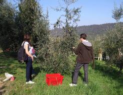 raccolta olive Castelletto