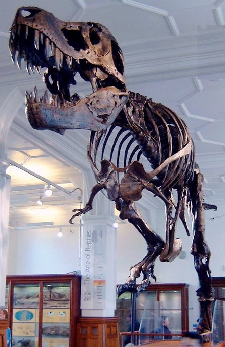 """""""Stan"""" (BHI 3033) the T. rex at Manchester Museum. (Picture by en:User:Billlion, CC BY SA 3.0)"""