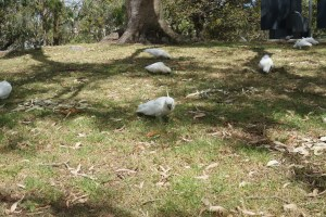 Cockatoos at the Sydney Botanical Gardens