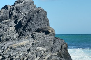 A seal on the rocks at Red Rocks in Wellington