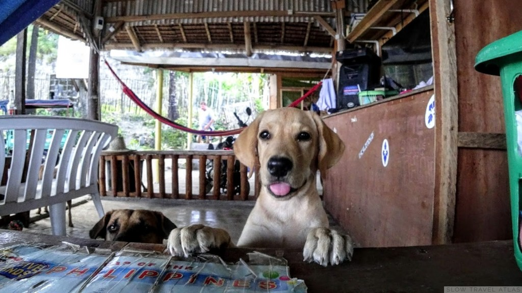 Yellow labrador puppy with feet on the table