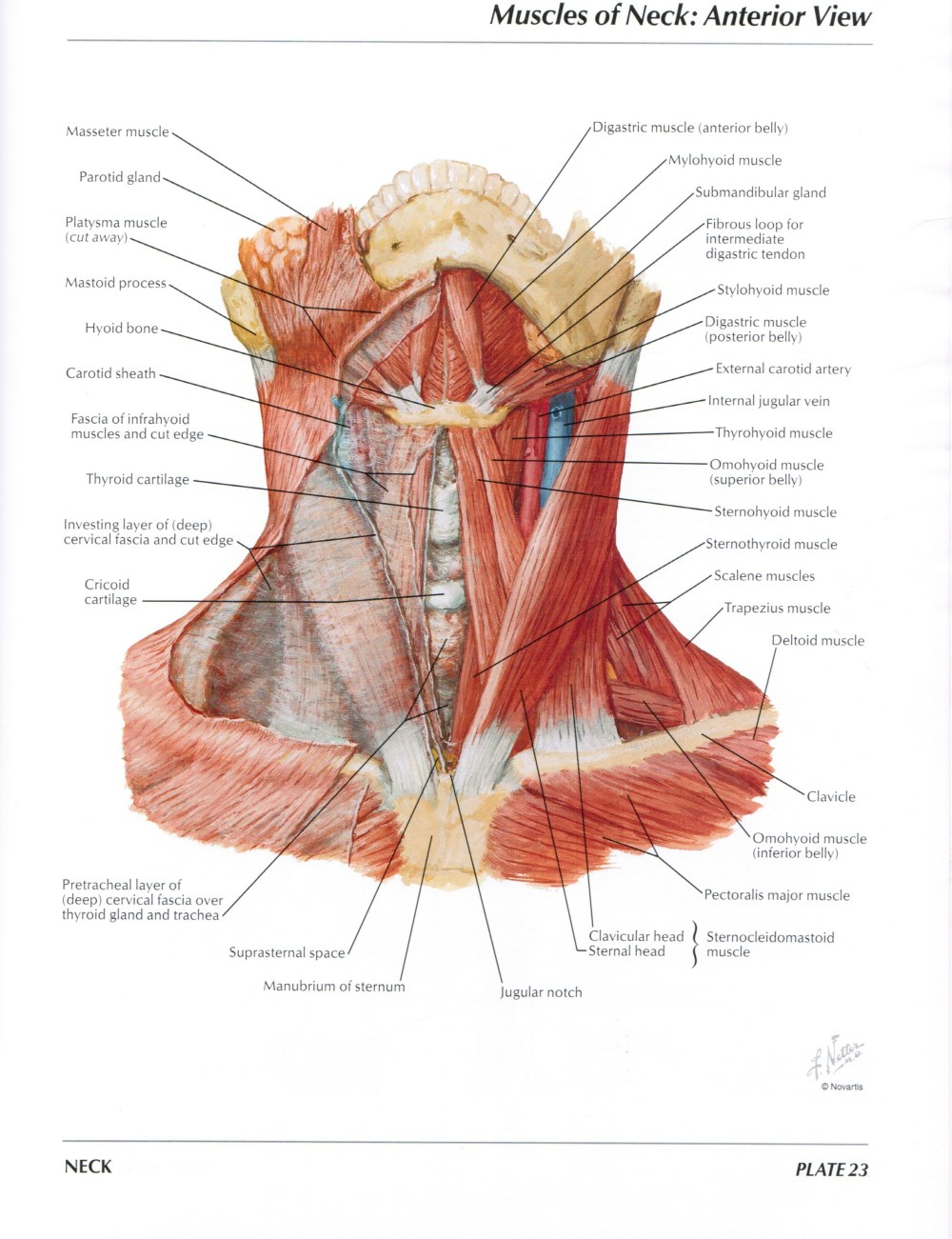 medium resolution of protected normal anatomy of the vocal mechanism 23