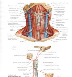 protected normal anatomy of the vocal mechanism 24 [ 2480 x 3228 Pixel ]