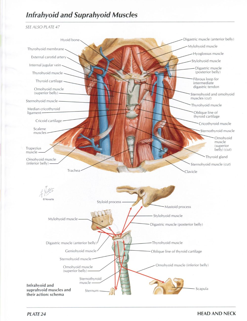 medium resolution of protected normal anatomy of the vocal mechanism 24