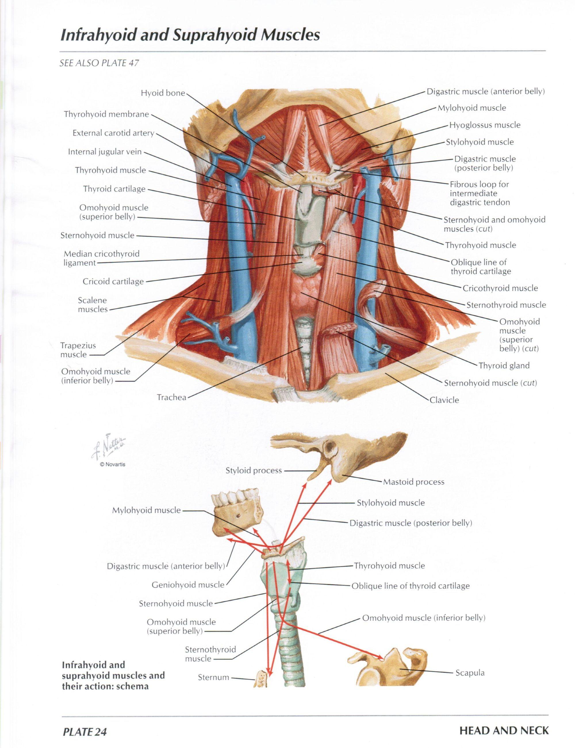 hight resolution of protected normal anatomy of the vocal mechanism 24