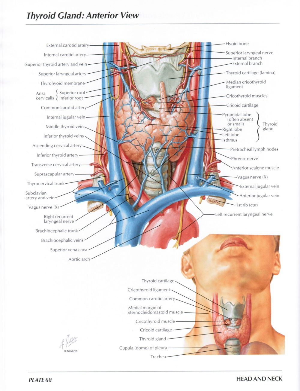 medium resolution of protected normal anatomy of the vocal mechanism 68