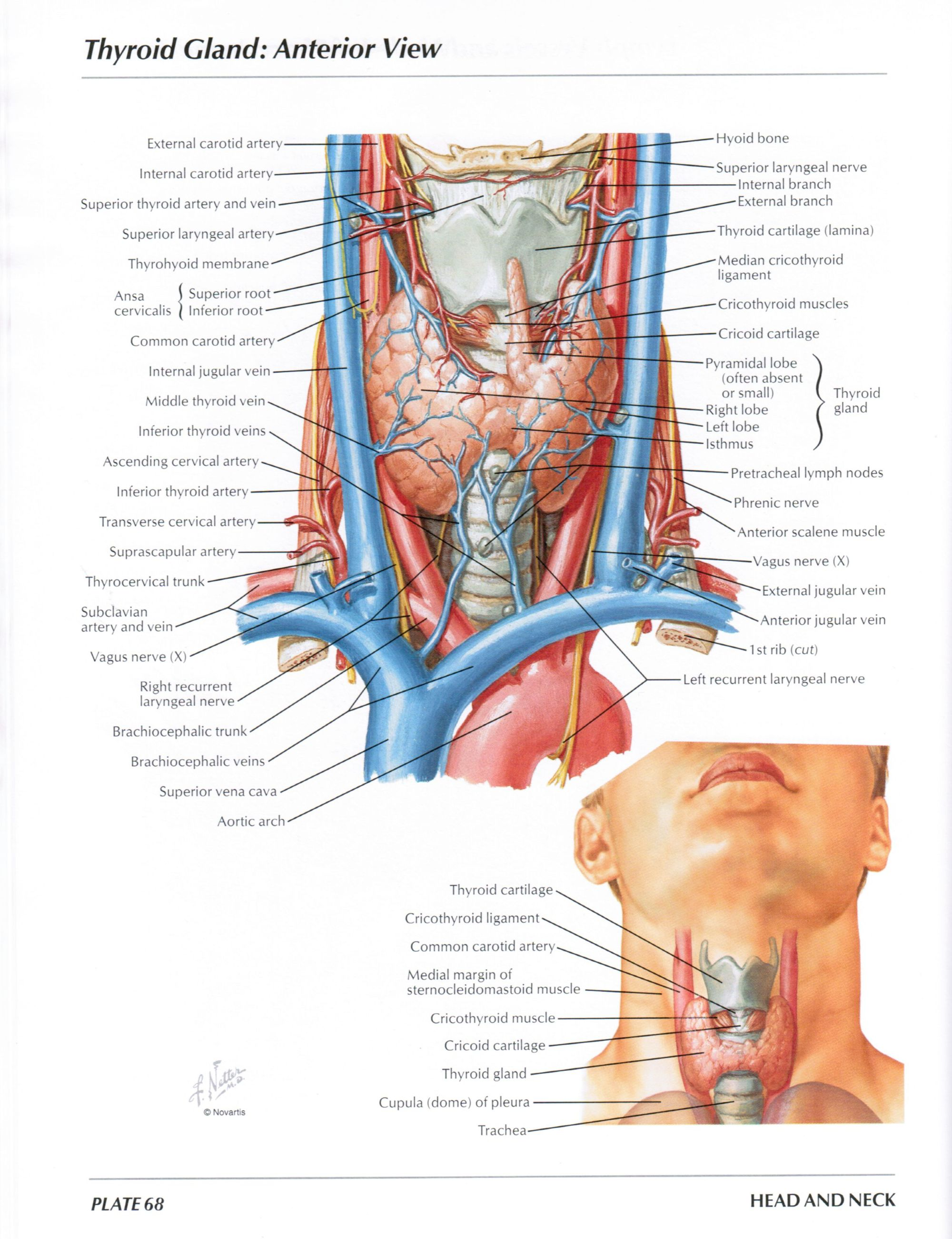 hight resolution of protected normal anatomy of the vocal mechanism 68