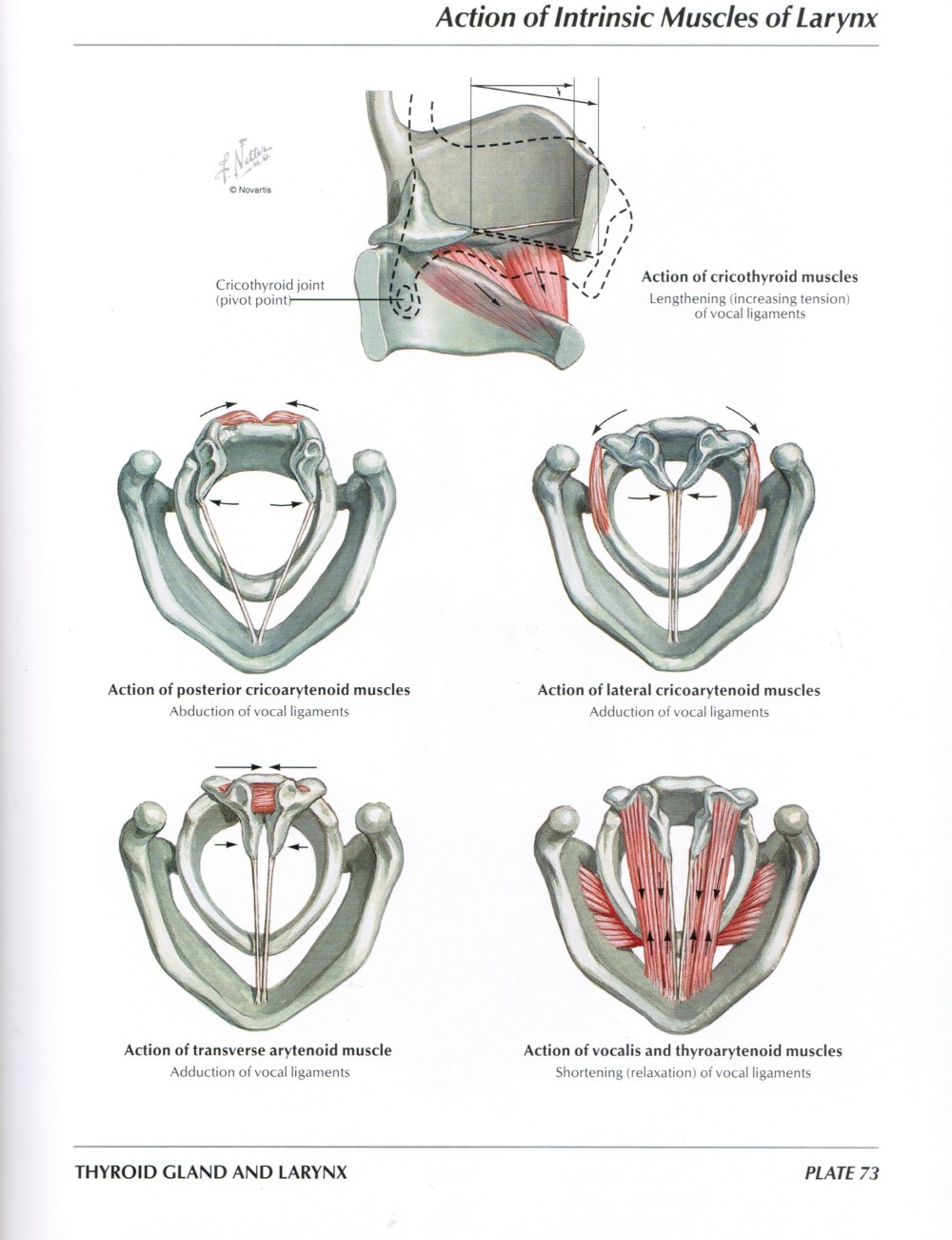 medium resolution of protected normal anatomy of the vocal mechanism 73