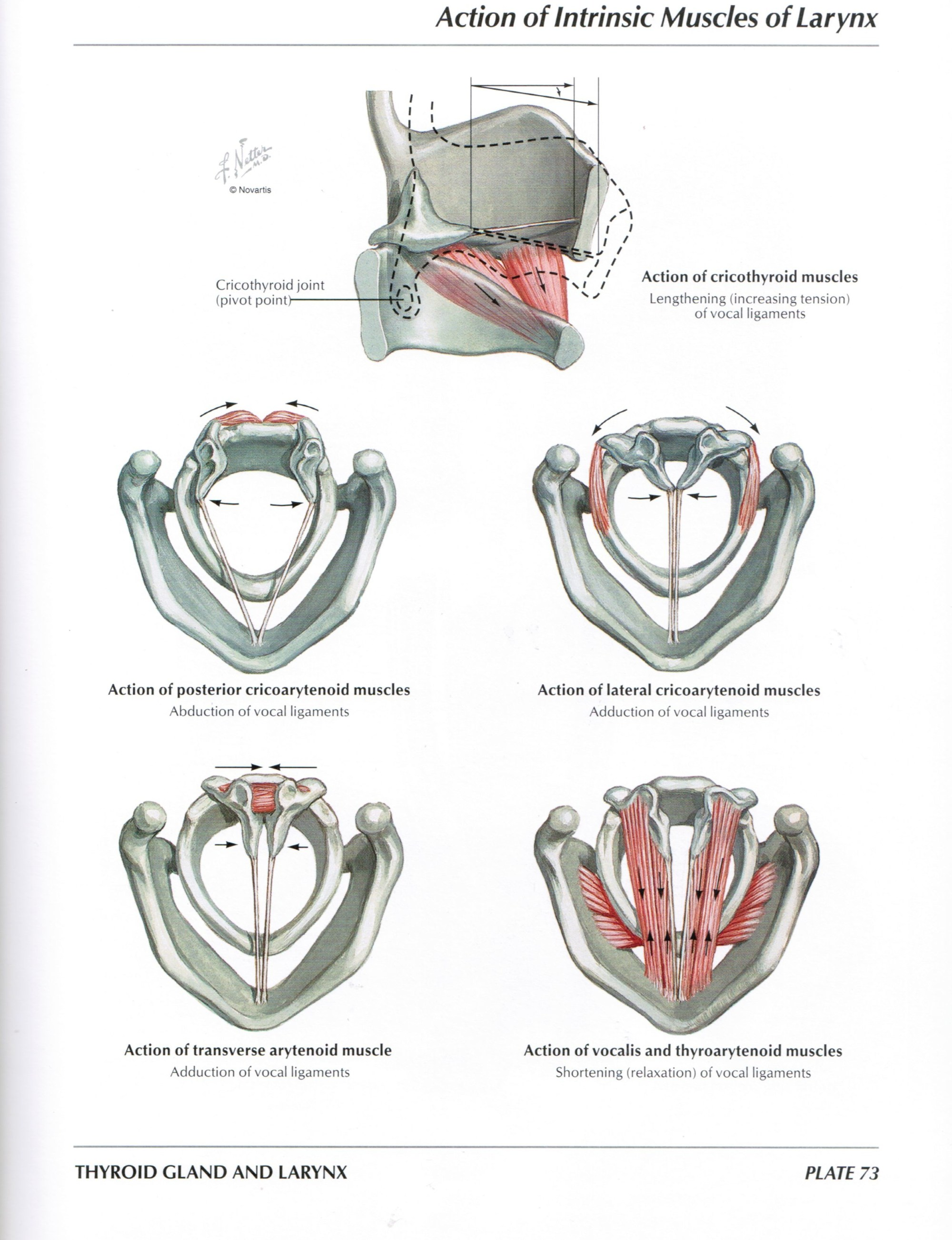 hight resolution of protected normal anatomy of the vocal mechanism 73