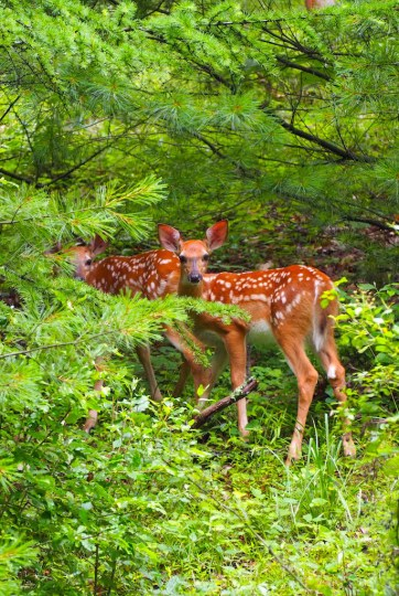 Fawns at Kettle Creek State Park