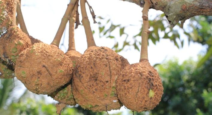 Indonesia grows thornless durians after 12 years of experimenting ...