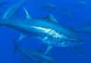 Tun-eventyret fortsætter – Nordmænd skal også mærke tun