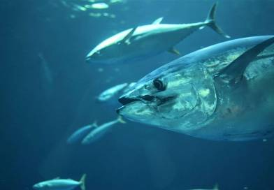Styrket nordisk tun-projekt Hele 80 tun skal mærkes!