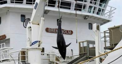 Så lidt fik erhvervsfiskeren for de 90 x tunfisk!