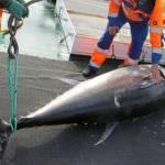 Erhvervsfisker fanger 90 stk. blåfinnet tun!