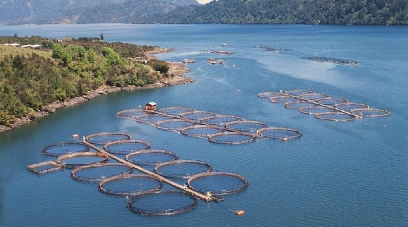 875.000 laks med en gennemsnitsvægt på 3,8kg brudt ud af havdambrug