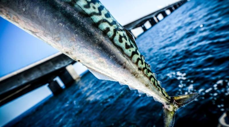 Makreljagt med Garmin Livescope
