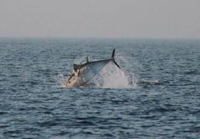 Så er de blåfinnede tun allerede kommet til Øresund!