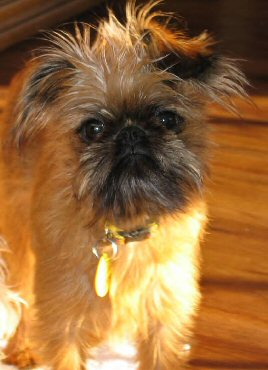 Brussels Griffon As Good As It Gets : brussels, griffon, Welcome, Annabel's, Canine, Blog!, WHERE, PLACE, DOGS!!:, Griffons!