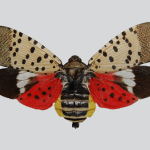 Spotted Lanternfly Poses Threat to Thousands of Small Businesses