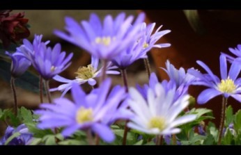 anemone blanda - blue